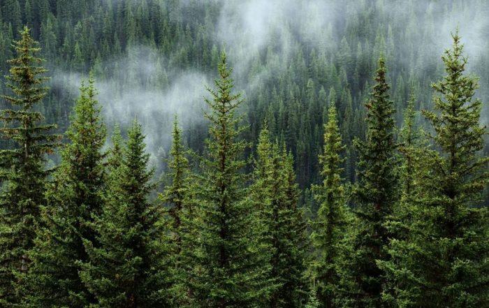 Nebel steht über dem Wald.