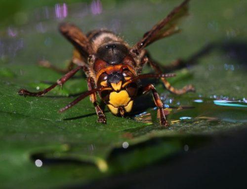 Wie aggressiv sind Wespen und Hornissen wirklich?