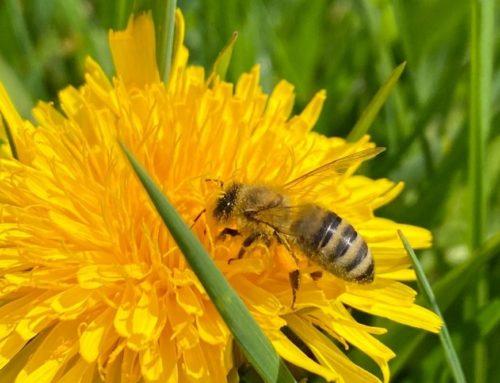 10 Tipps, wie Du zum Bienenschutz beitragen kannst