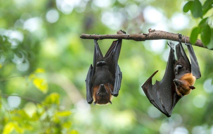 Zwei Fledermäuse hängen an einem Ast. Der Hintergrund ist grün.
