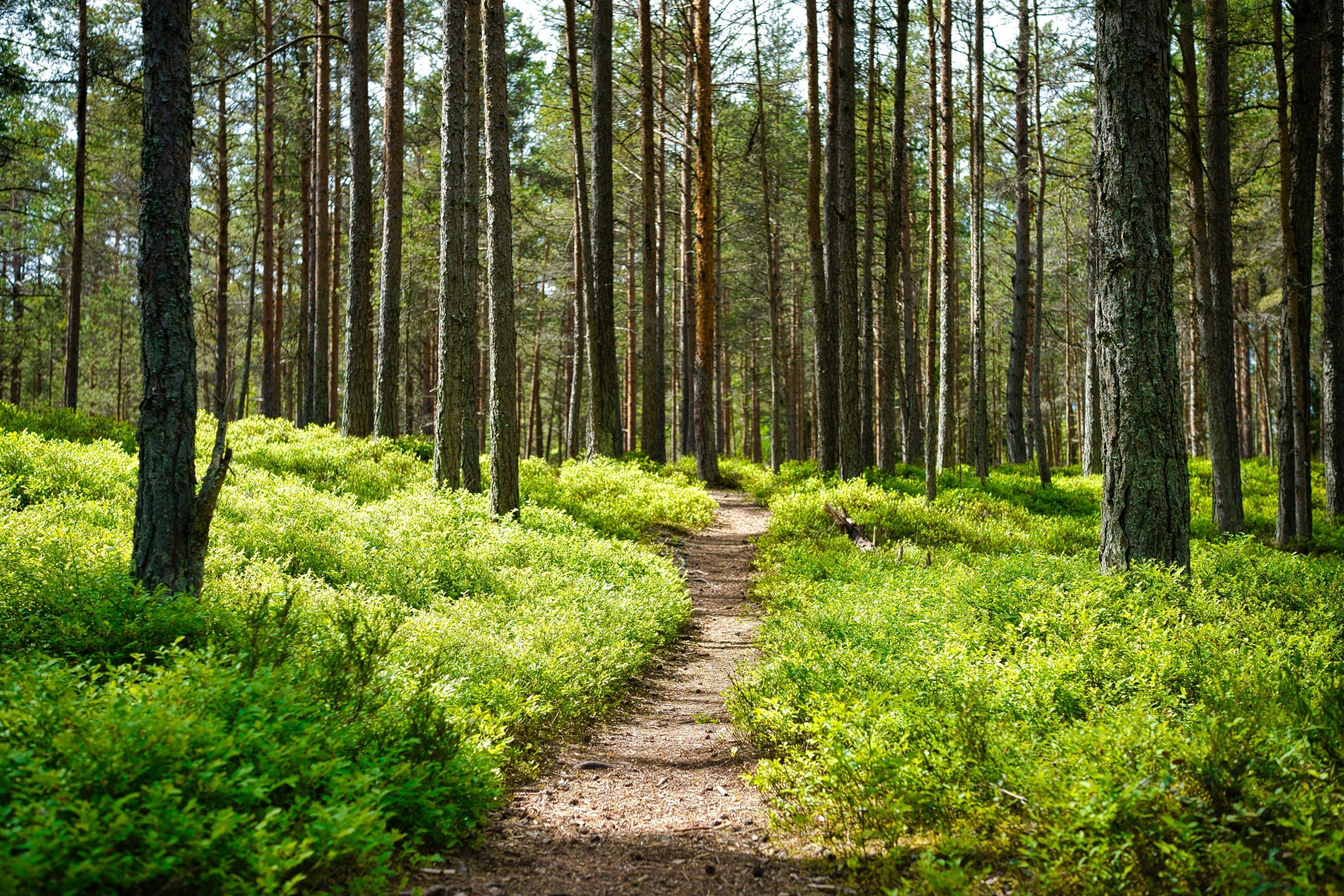 eine Lichtung in einem Wald.