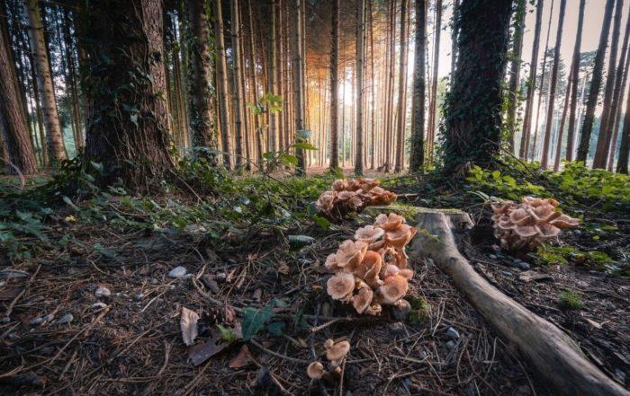 Pfifferlinge-Pilze-im-Wald-Bäume-mit-Efeu