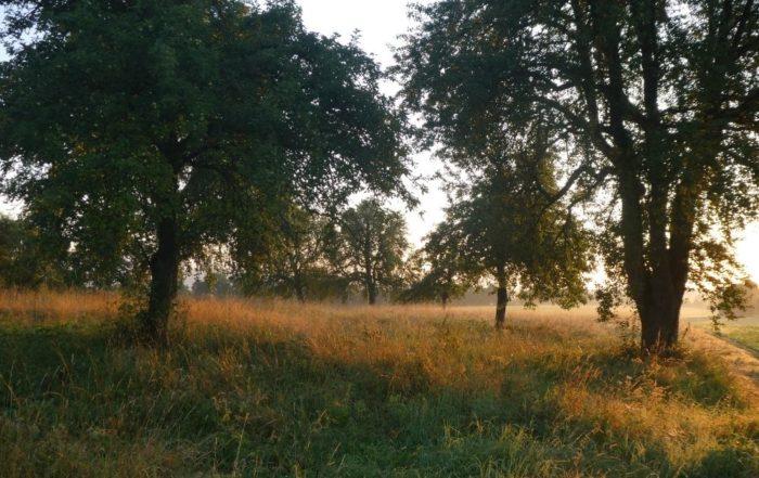 Bäume stehen auf einer Streuobstwiese. Zwischen ihnen scheint die Morgensonne