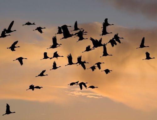 Die Reise der Zugvögel: Gründe und Gefahren
