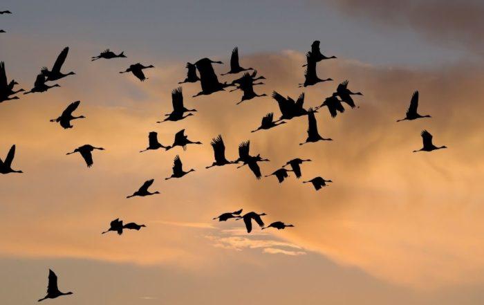 Vor einem orangenen Himmel sind mehrere schwarze Zugvögel zu sehen, die nach links fliegen.