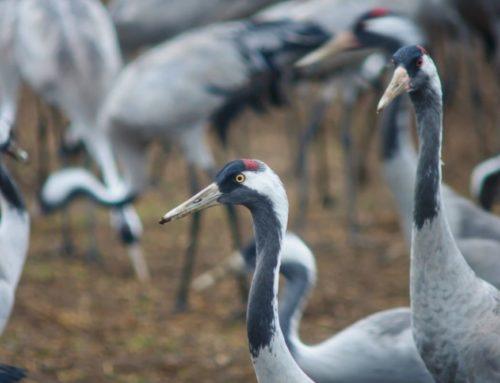 Beobachte jetzt Zugvögel auf ihrem Weg in den Süden