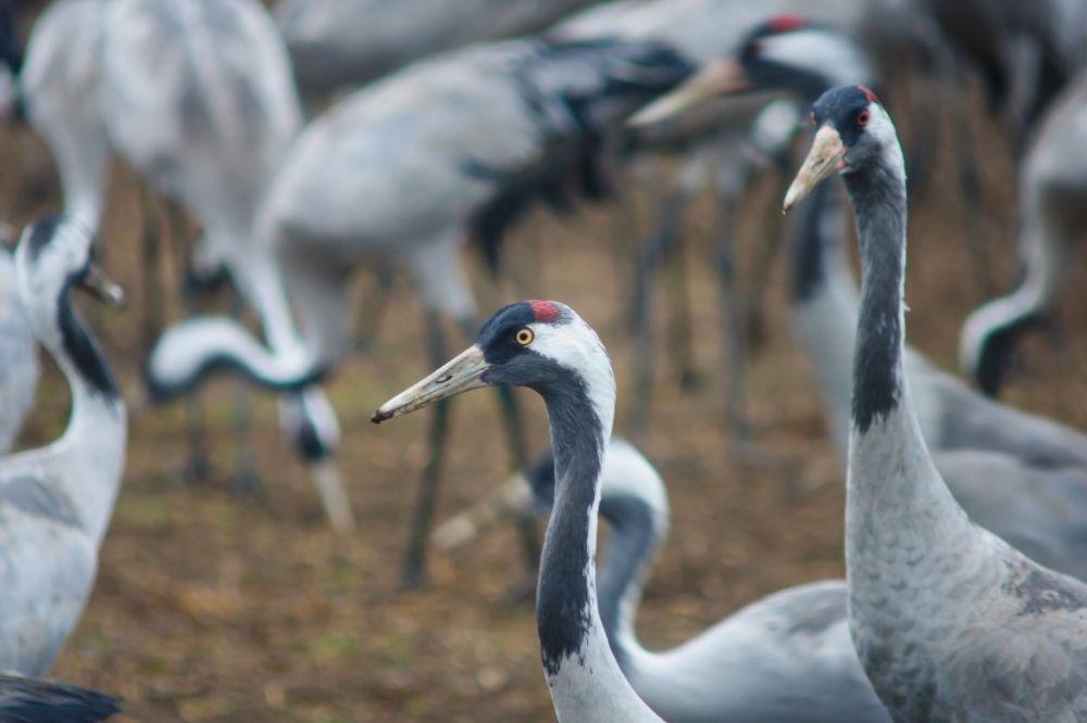 Man sieht mehrere grau-weiße Kraniche, die auf einem Feld stehen. Sie gehören zu den Zugvögeln und fliegen jetzt in den Süden